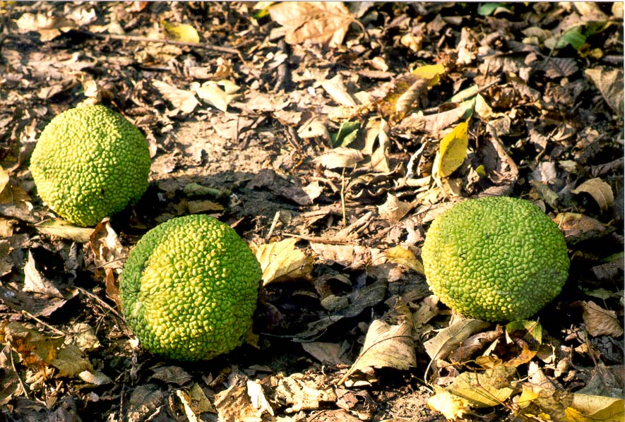 Hedge apples (fruits of osage orange) near Battle Ground. Indiana