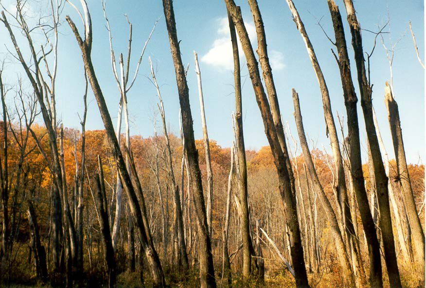 Dead forest in a marsh near Wabash River at Ross...5 miles west from Lafayette. Indiana