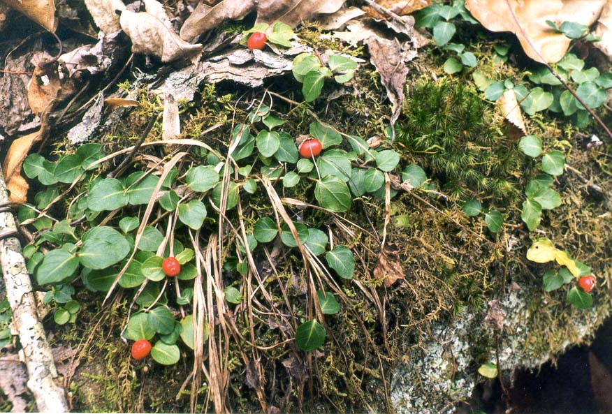 Unknown dwarf berries on Rough Trail. Red River Gorge, Kentucky
