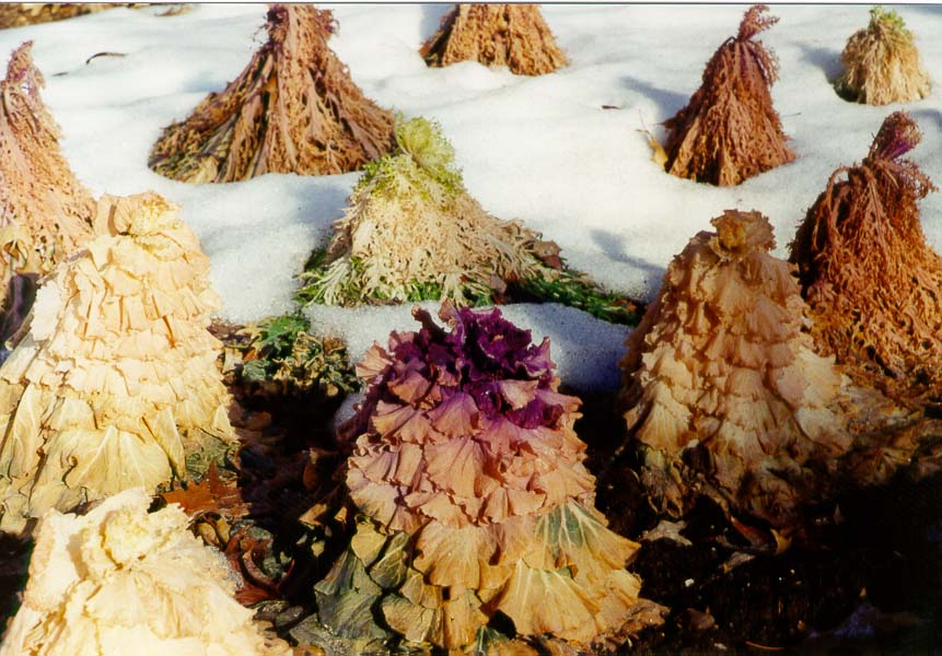 Frozen ornamental cabbage at Centennial Mall. Purdue University, West Lafayette IN