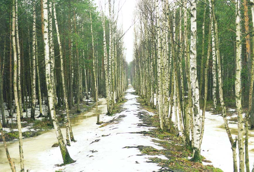 A narrow birch alley over a marshy forest in Sosnovka Park. St.Petersburg, Russia