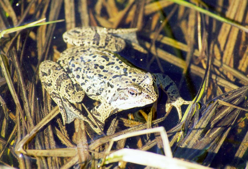 A frog in a pool on a meadow west of Toksovo, 10 miles north of St.Petersburg, Russia