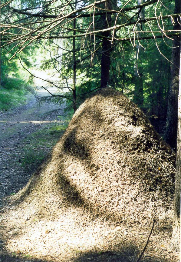 Ant-hill in a fir forest west of Toksovo, 10 miles north of St.Petersburg, Russia