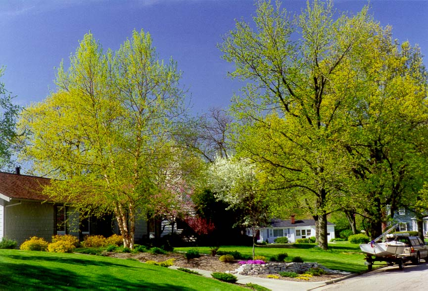 Birches and ginkgo trees at Marilyn Ave.. West Lafayette, Indiana