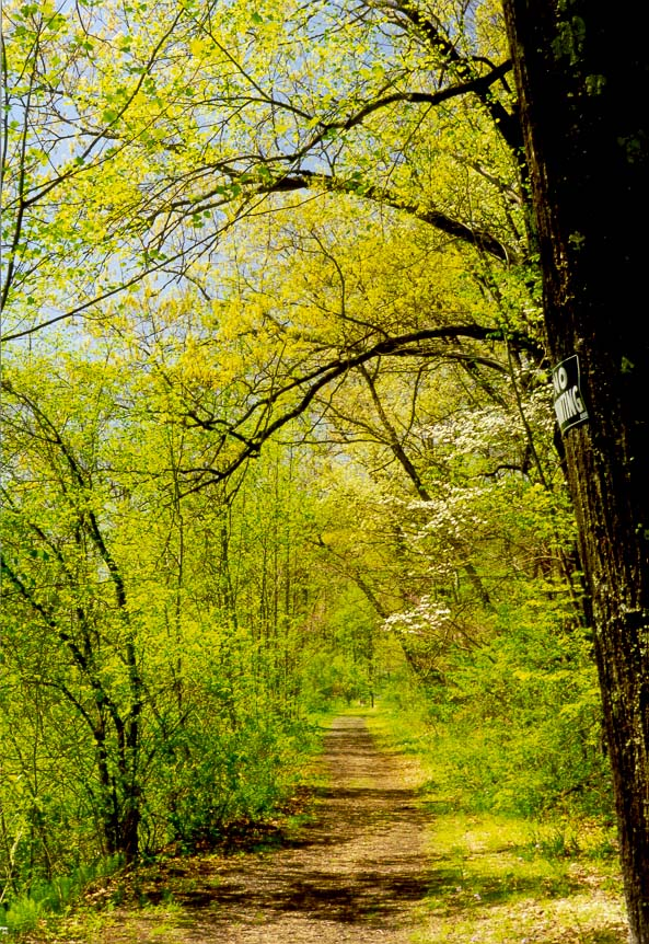 A road with dogwood in Ross Hills Park, 7 miles west from West Lafayette. Indiana
