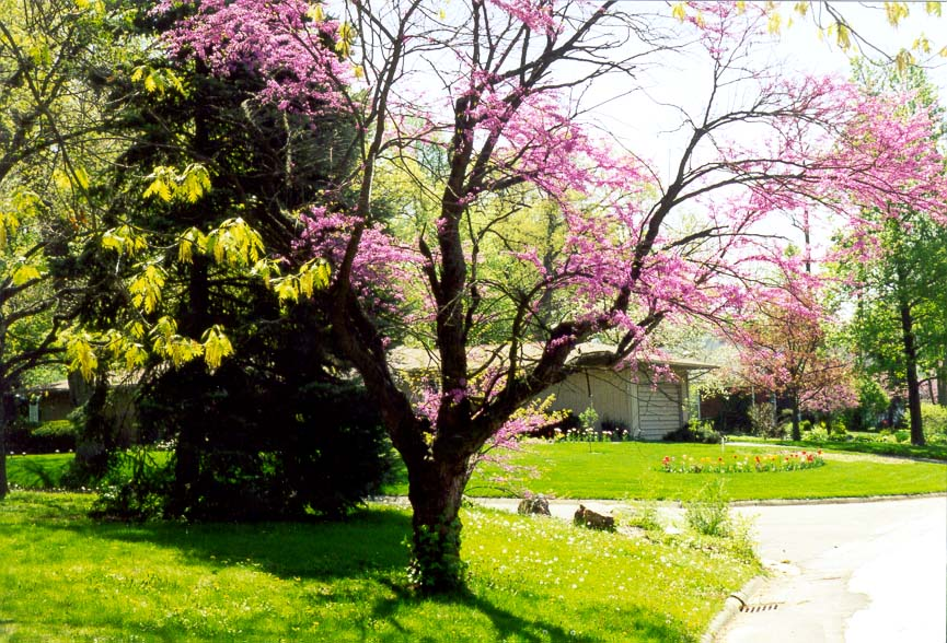 Redbud tree at Sheridan Rd.. West Lafayette, Indiana