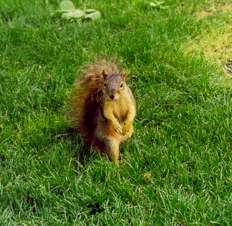 A squirrel on a lawn of the University of Notre Dame. South Bend, Indiana