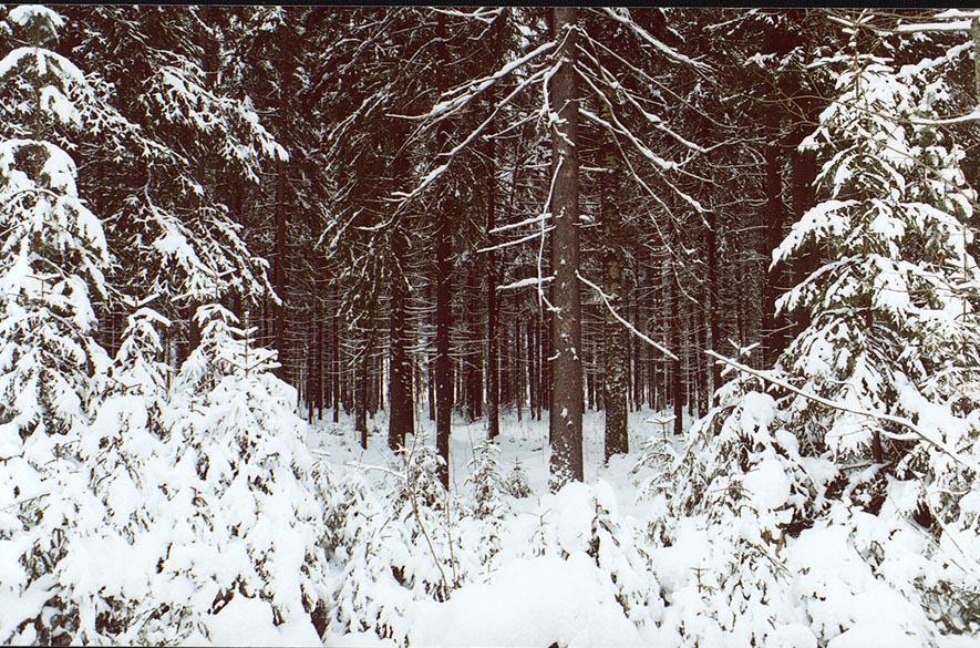 Fir forest from a road around west shore of...miles north from St.Petersburg. Russia