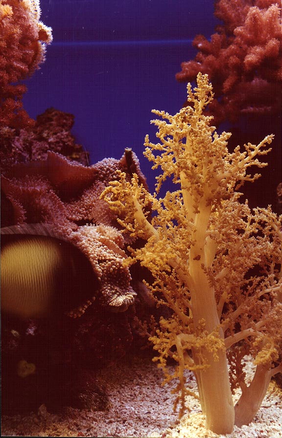 Fluorescent corals in aquarium. Eilat, the Middle East
