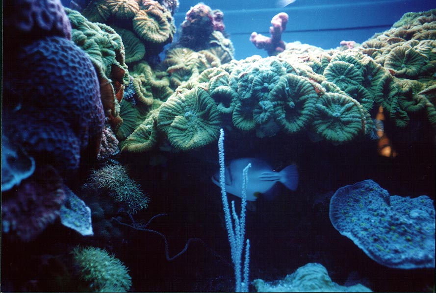 Corals and a fish in aquarium. Eilat, the Middle East
