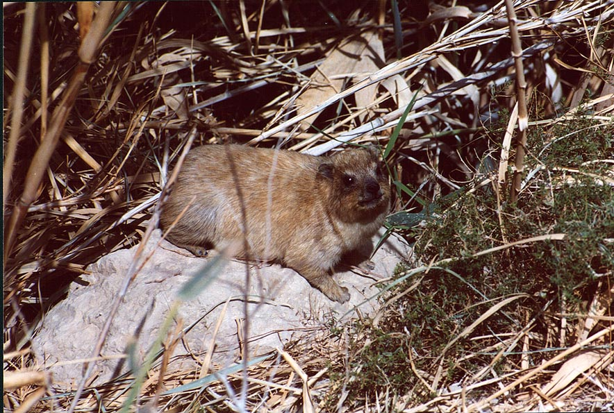 A rock badger or hyrax near Ein Bokek Creek. The Middle East