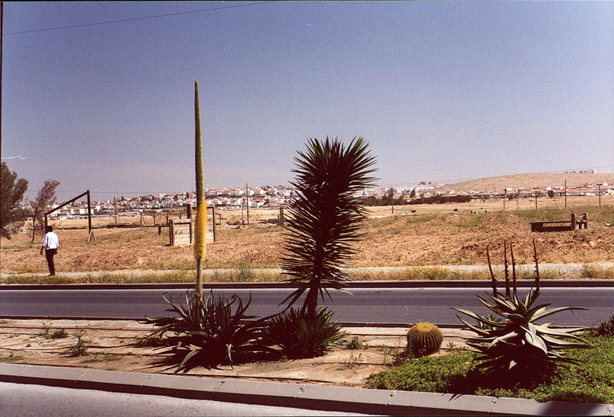 Ben Gurion Blvd. in Beer-Sheva. Flowers of cacti...of a blooming Negev. The Middle East