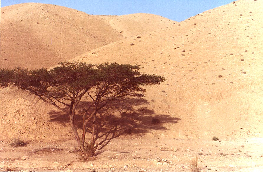 Acacia tree near Dead Sea. The Middle East