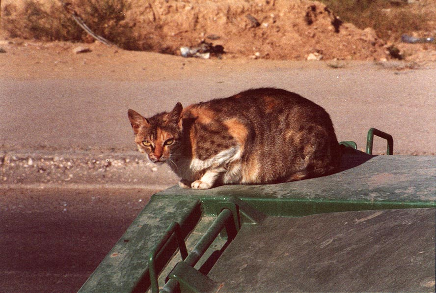 A stray cat of the desert protective coloring...near BGU. Beer-Sheva, the Middle East