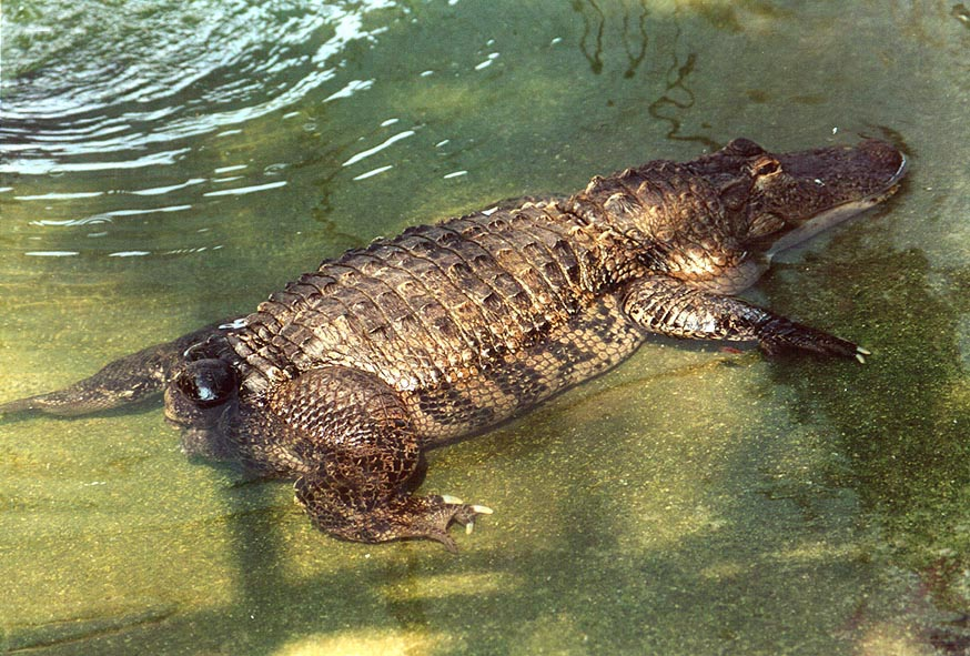 Tailless alligator like a toad in Hamat Gader. The Middle East