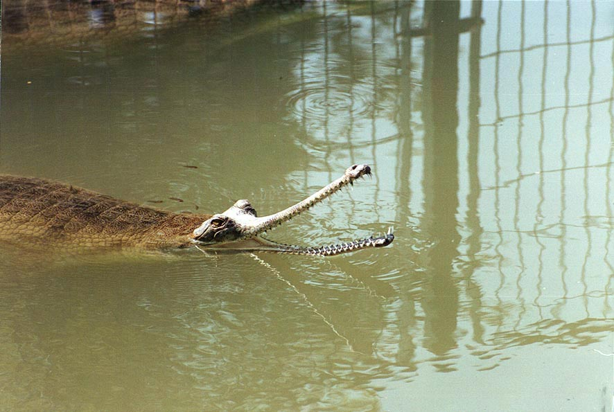 A small crocodile in a pond in Hamat Gader. The Middle East