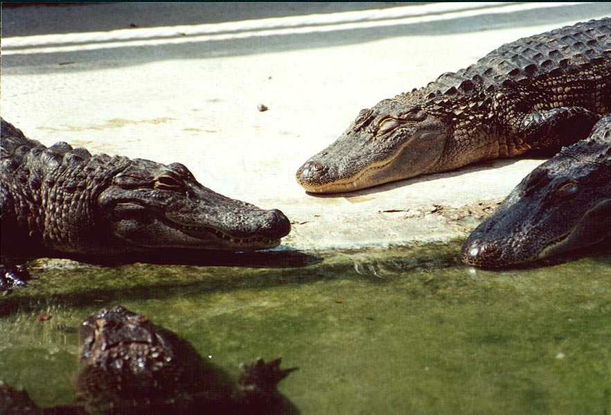 Alligators gathering near a pool during hot afternoon. Hamat Gader, the Middle East