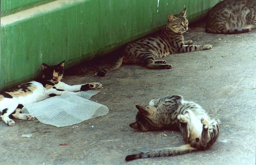 Cats on Nili St.. Beer-Sheva, the Middle East