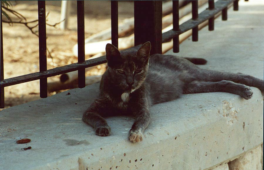 A cat near Ringelblum St.. Beer-Sheva, the Middle East
