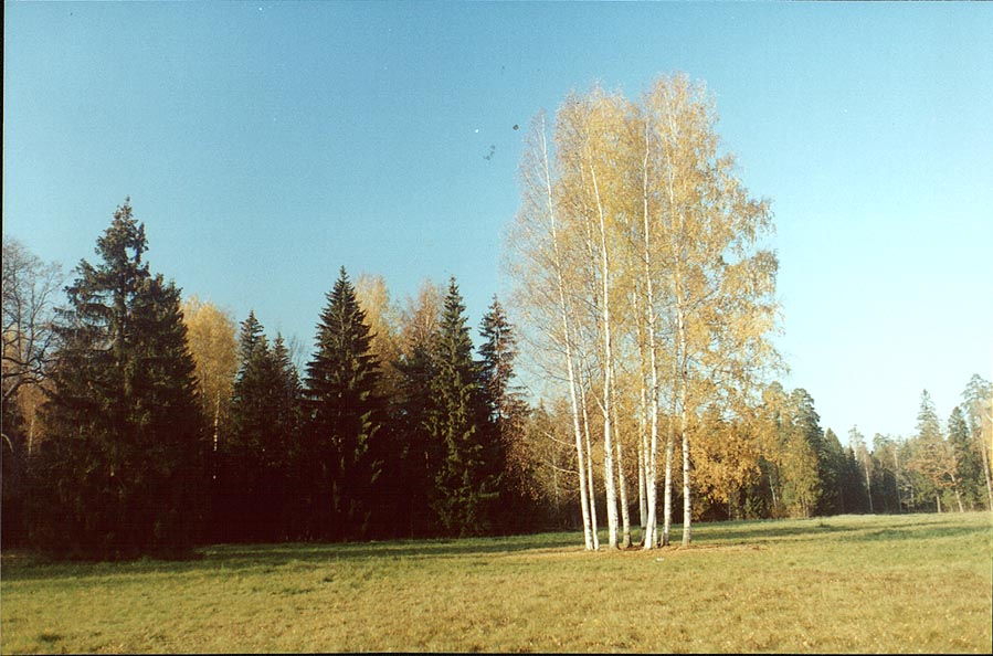 Birches in Pavlovsk Park. Sankt Petersburg, Russia