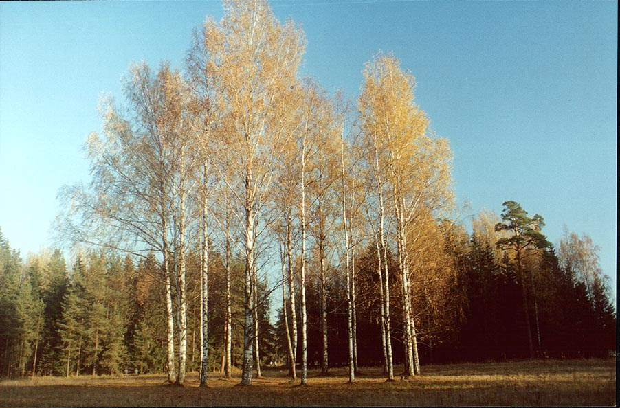 Krug Belykh Berioz (Circle of White Birches) in Pavlovsk Park. Sankt Petersburg, Russia
