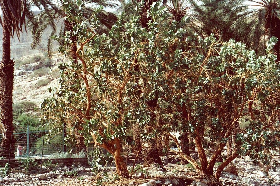 Sodom apple garden. Ein Gedi, the Middle East