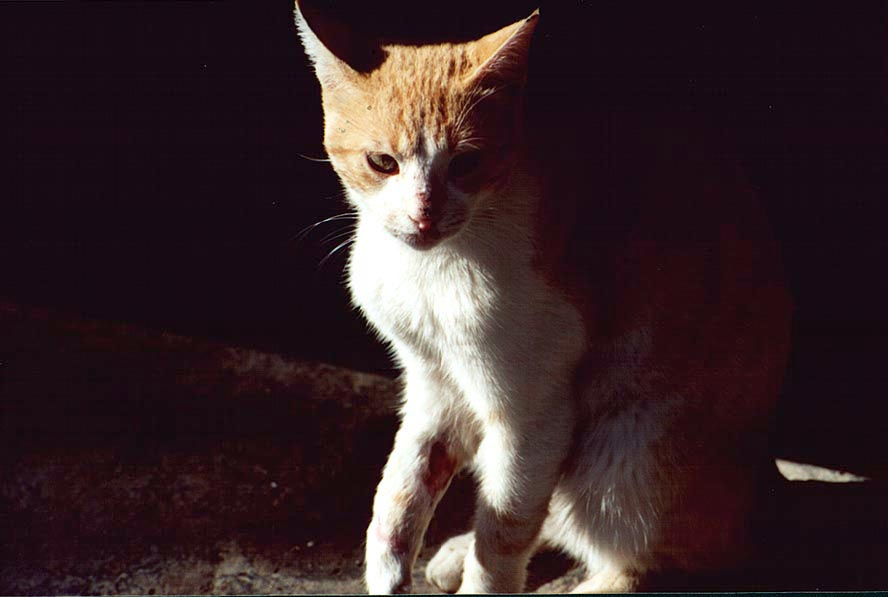 A cat with a broken paw on Haviva Reik St.. Beer-Sheva, the Middle East