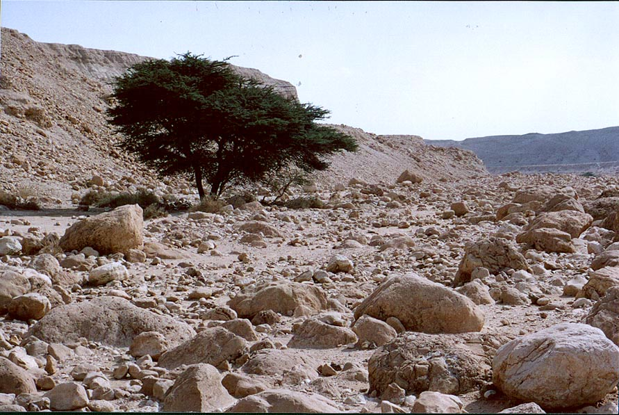 Acacia tree at Nahal Tseelim, 2 miles north from Masada. The Middle East