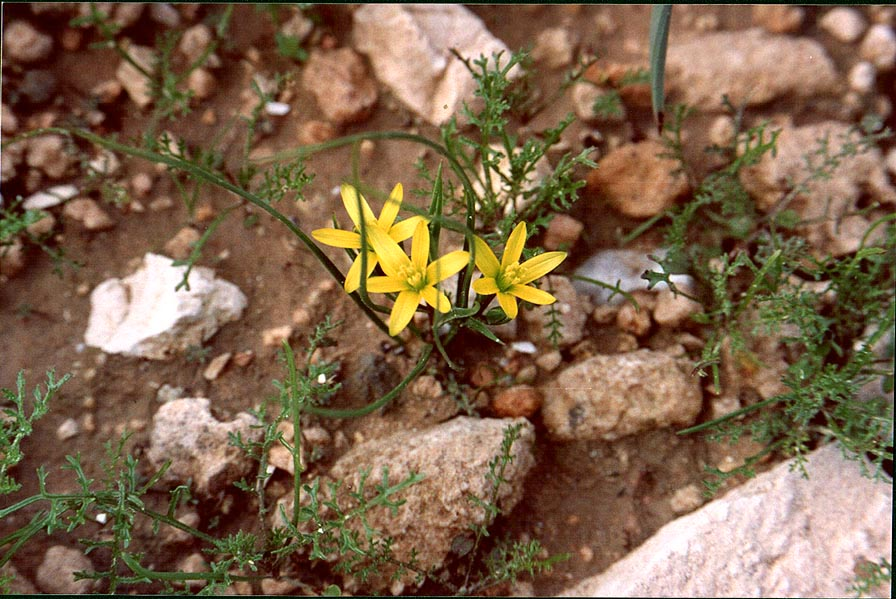 Wild onion flowers in Negev Desert in northern Beer-Sheva. The Middle East