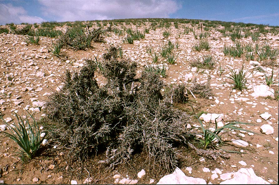 Desert plants after a rainy season in Negev Desert in northern Beer-Sheva. The Middle East