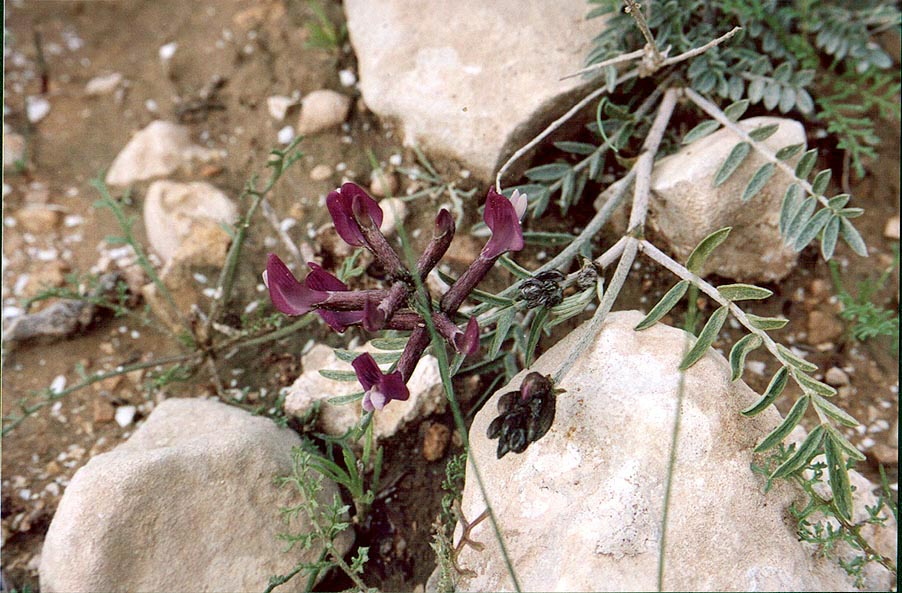 Wild pea flowers in Negev Desert in northern Beer-Sheva. The Middle East