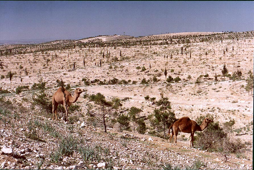 Pine forest in northern Beer-Sheva. The Middle East