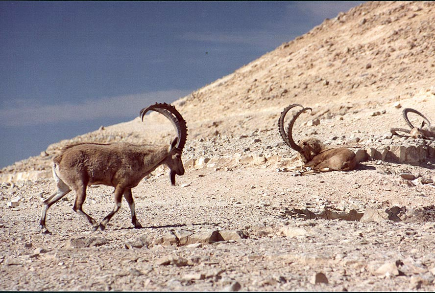 Disturbed ibex (others still sleeping) on a rim...city. Mitzpe Ramon, the Middle East