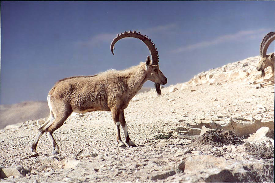 Close up of a disturbed ibex on a rim of Ramon...city. Mitzpe Ramon, the Middle East