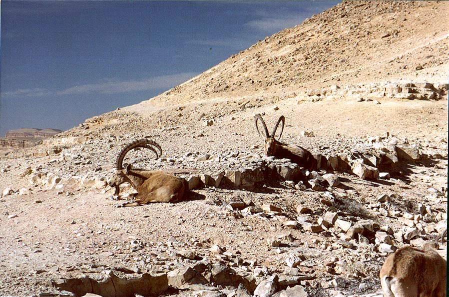 Ibexes resting at morning on the foot of a hill...city. Mitzpe Ramon, the Middle East
