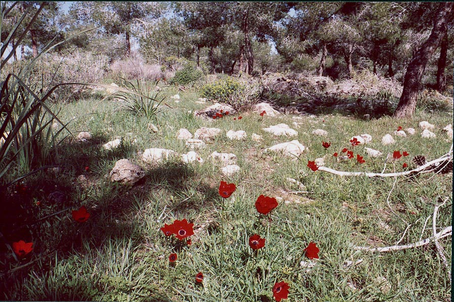 Poppy-like red anemone flowers. Lahav Forest (8...from Beer-Sheva), the Middle East