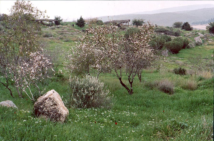 Almond trees in bloom in Neot Kedumim biblical...west from Jerusalem. The Middle East