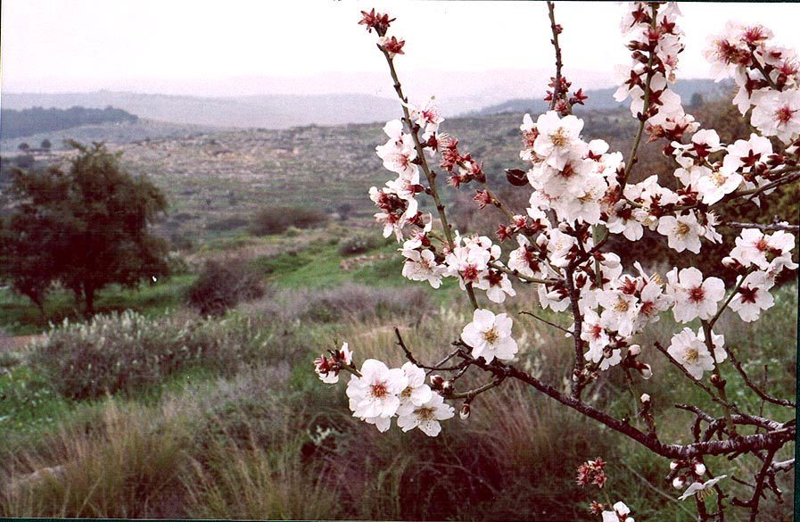 A blooming almond tree in Neot Kedumim biblical...west from Jerusalem. The Middle East