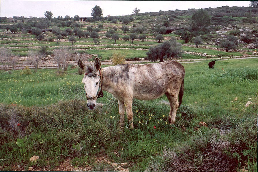 A donkey in Neot Kedumim biblical landscape park, west from Jerusalem. The Middle East