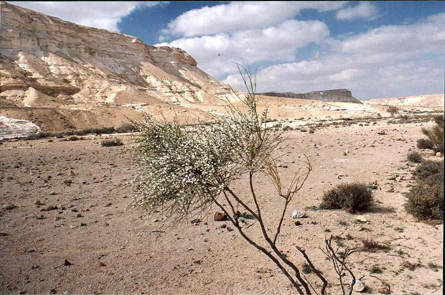 White Broom (Retama raetam) shrub in bloom in...miles east from Avdat. The Middle East