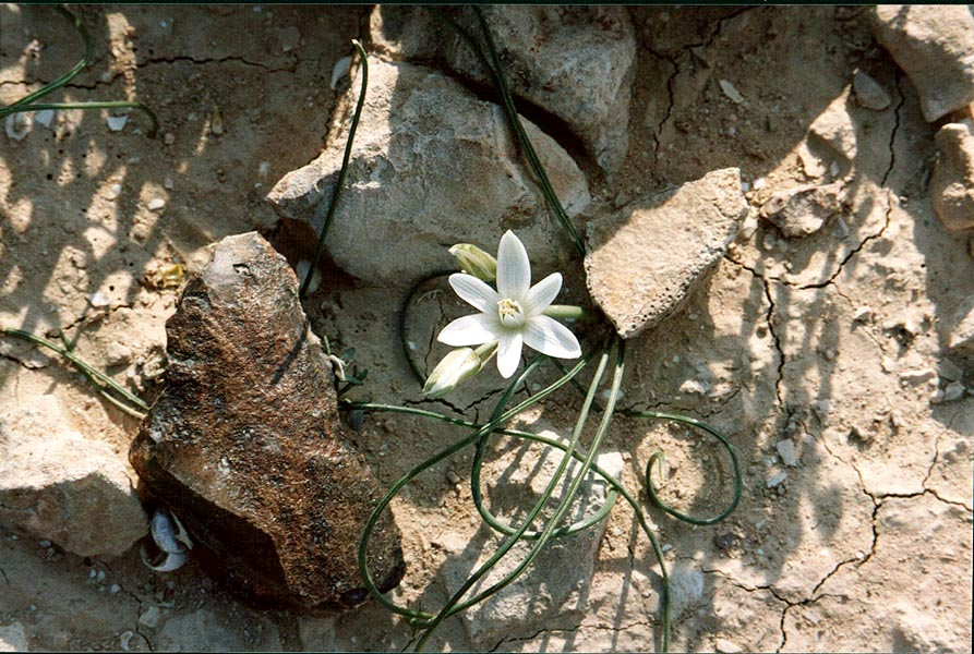 A spring flower among flint stones 1.5 miles...College at Sde Boker. The Middle East