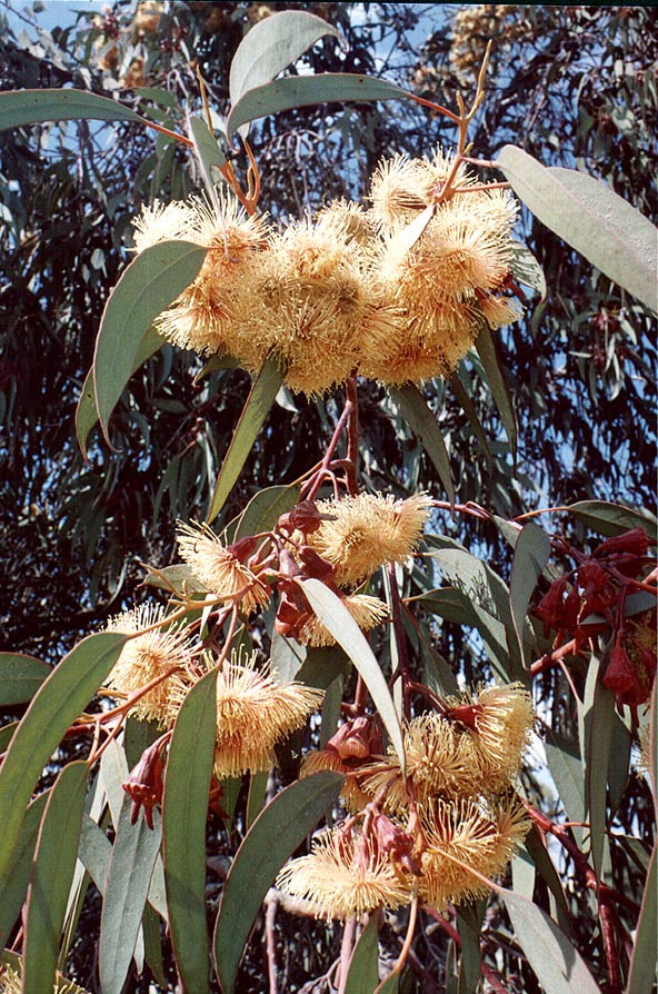 Eucalyptus in bloom at Bialik St.. Beer-Sheva, the Middle East
