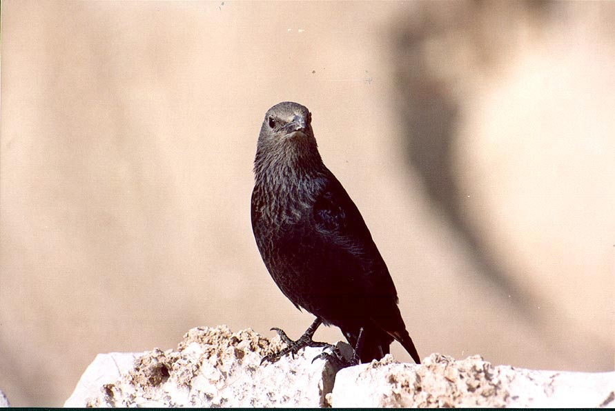 A common black bird Tristram's grackle sitting on...creek canyon, zoomed. The Middle East