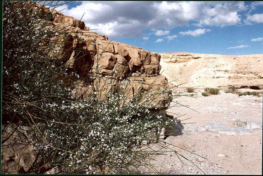 White Broom shrub in a desert wadi of Bokek River above Ein Bokek. The Middle East