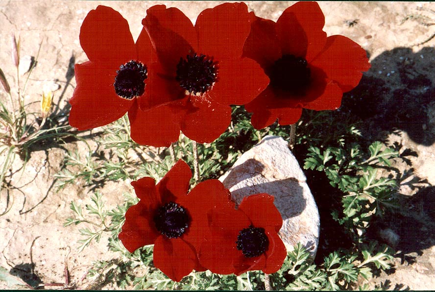 Red anemones in northern Beer-Sheva. The Middle East