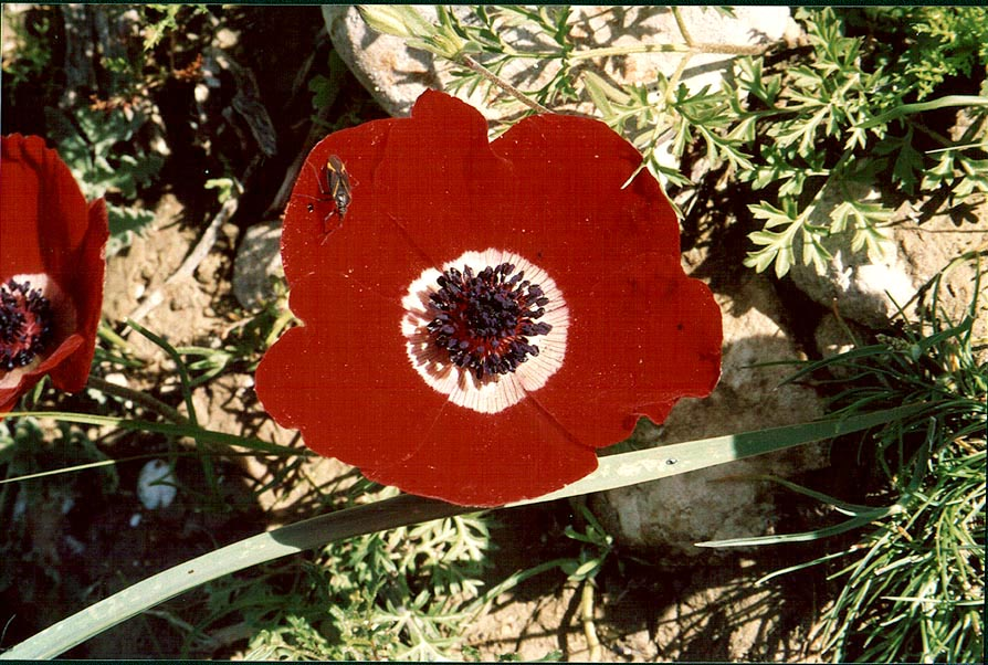 Red anemone (adonis) in northern Beer-Sheva. The Middle East