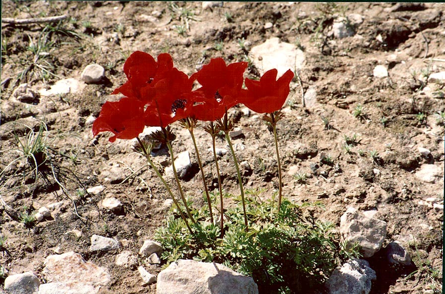 Red anemones (adonis) in Negev Desert in northern Beer-Sheva. The Middle East