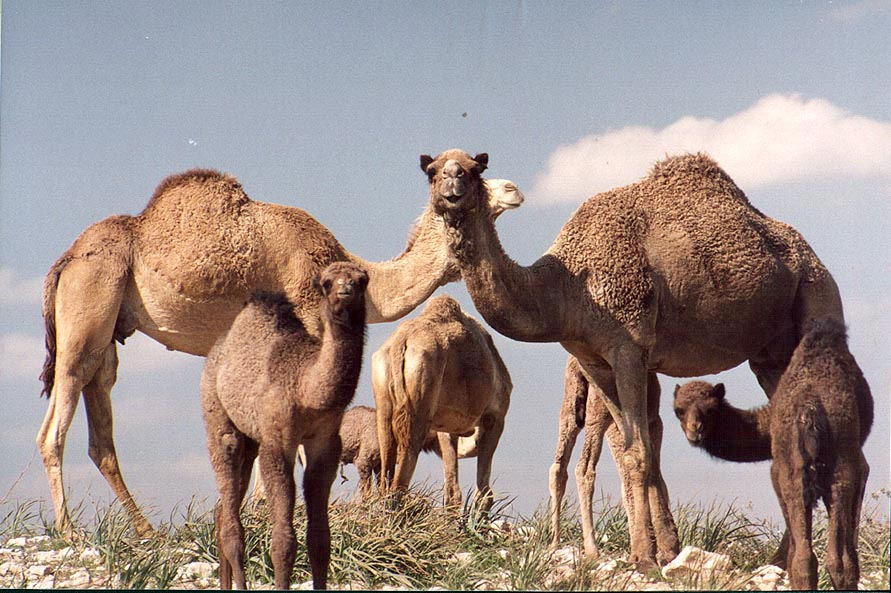 Camels on a hill near a Bedouin village in Negev...north from Beer-Sheva. The Middle East