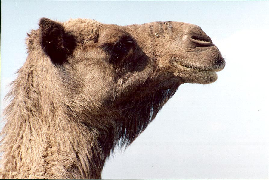 A camel on a hill near a Bedouin village in Negev...north from Beer-Sheva. The Middle East