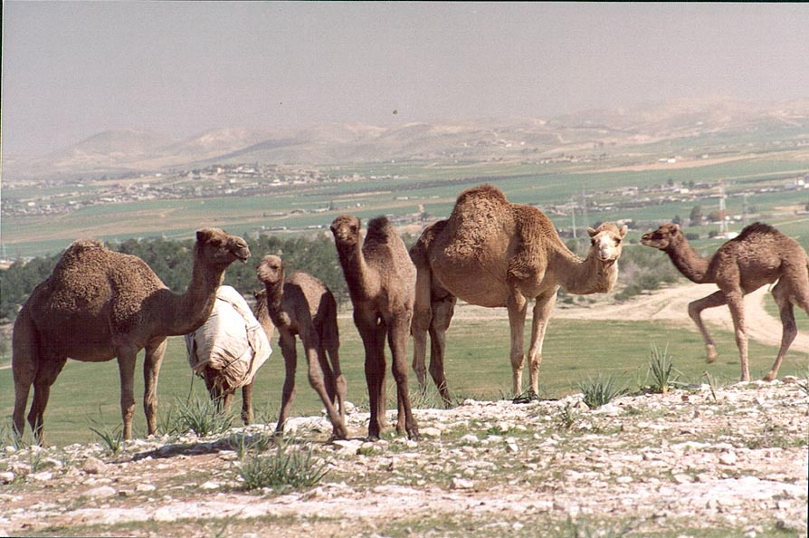 Camels on a hill near a Bedouin village in Negev...on the background. The Middle East